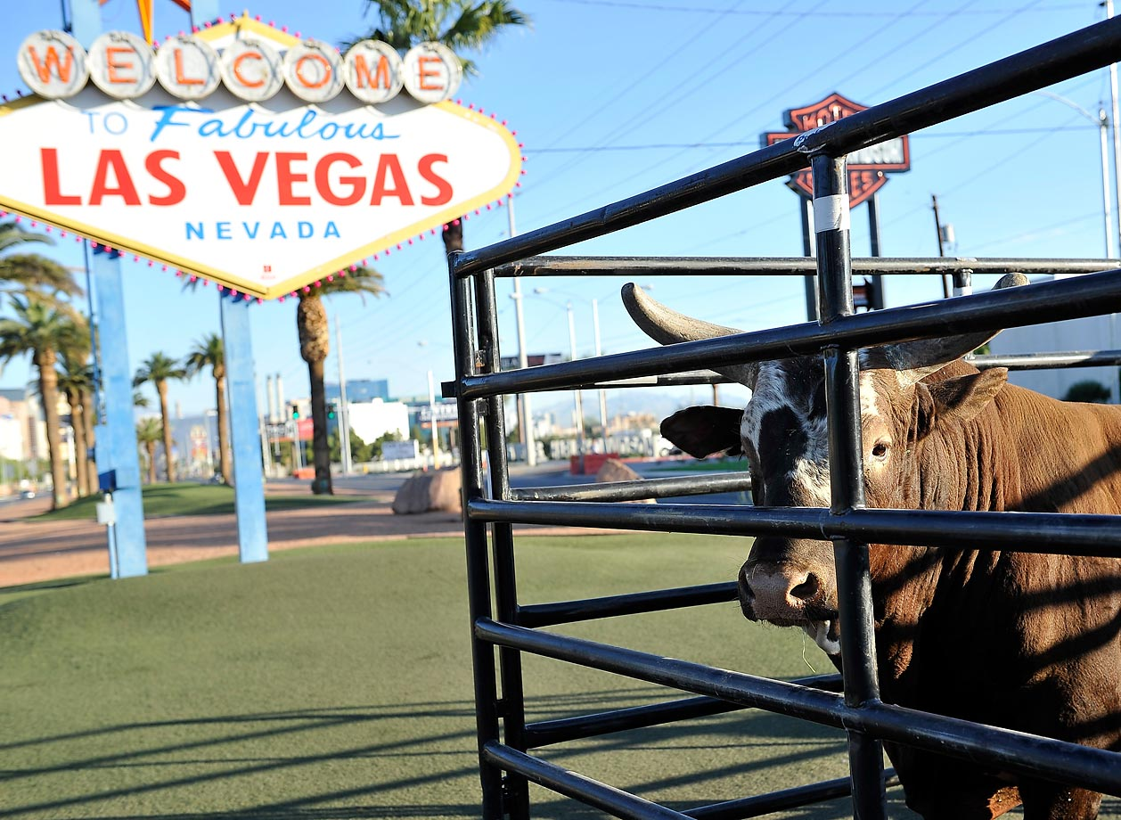 Bushwacker, the world champion bucking bull, is at the Welcome to Fabulous Las Vegas sign prior to his final ride of his legendary career at the PBR World Finals in Las Vegas.