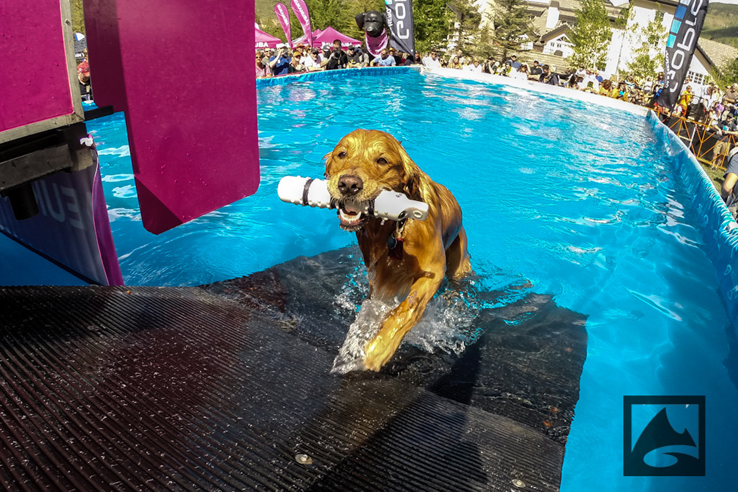 Canine participants in the DuckDogs Big Air competition – a long jump for dogs – carried toys back to their owners after leaping off the end of a dock and into a pool.