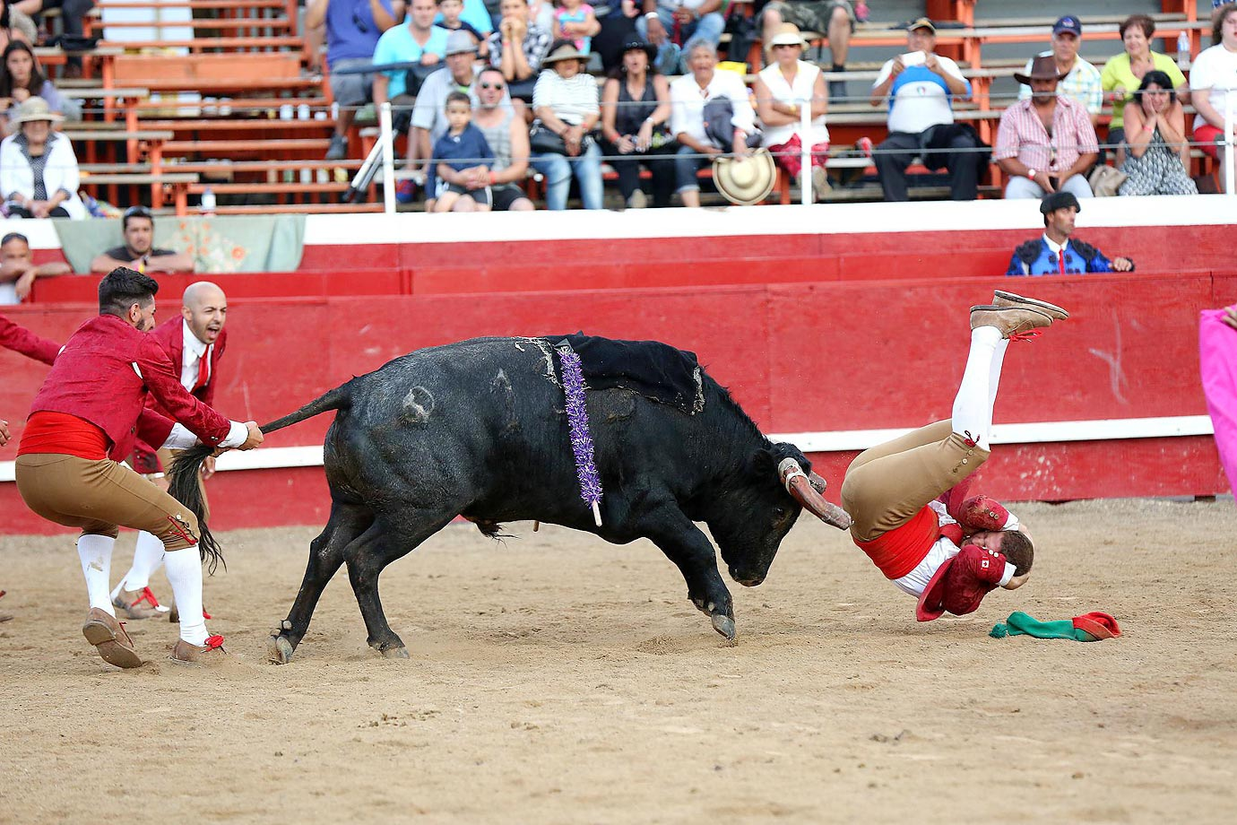A portuguese bullfighter prepares for a rough landing after tangling with a bull during an exhibition of Portuguese Style bullfighting in Dundalk, Ontario.