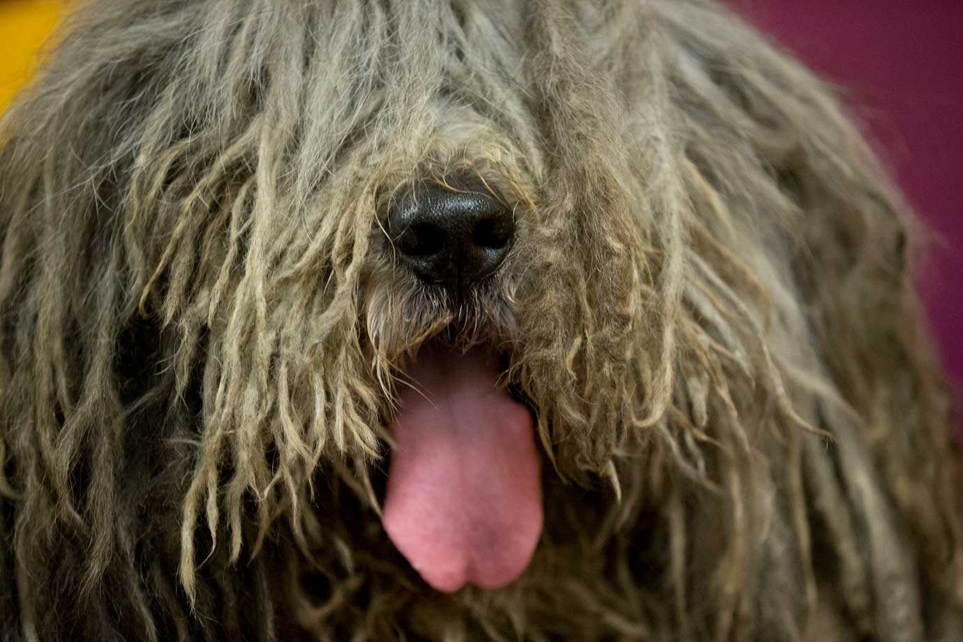 Here are some of the images that caught our eye on the sports night of Feb. 15, beginning with Viggo, a Bergamasco, waiting to compete in the 140th Westminster Kennel Club dog show at Madison Square Garden.