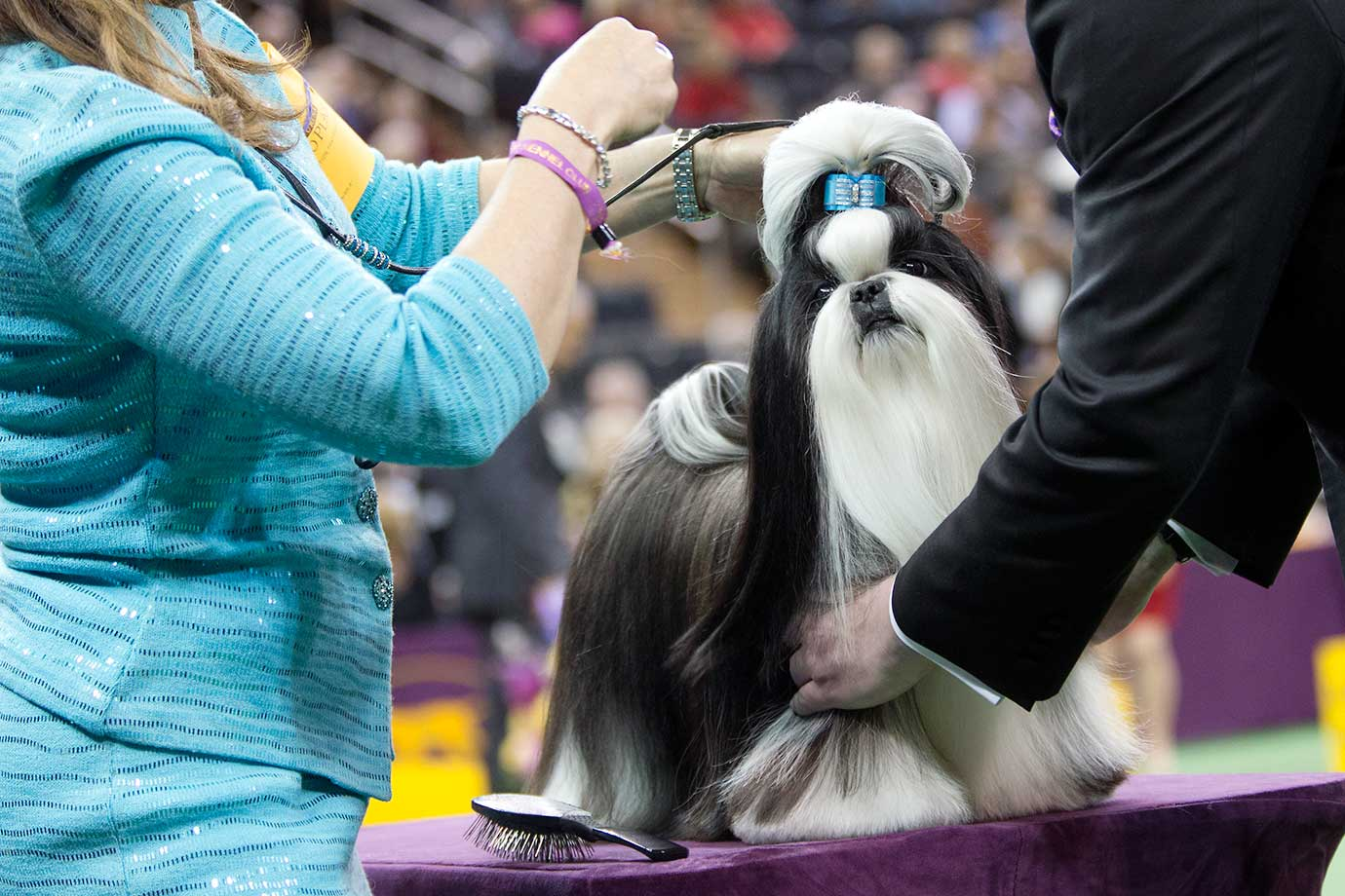 Panda, a shitzu, is inspected by a judge during the Toy group competition at the 140th Westminster Kennel Club dog show.