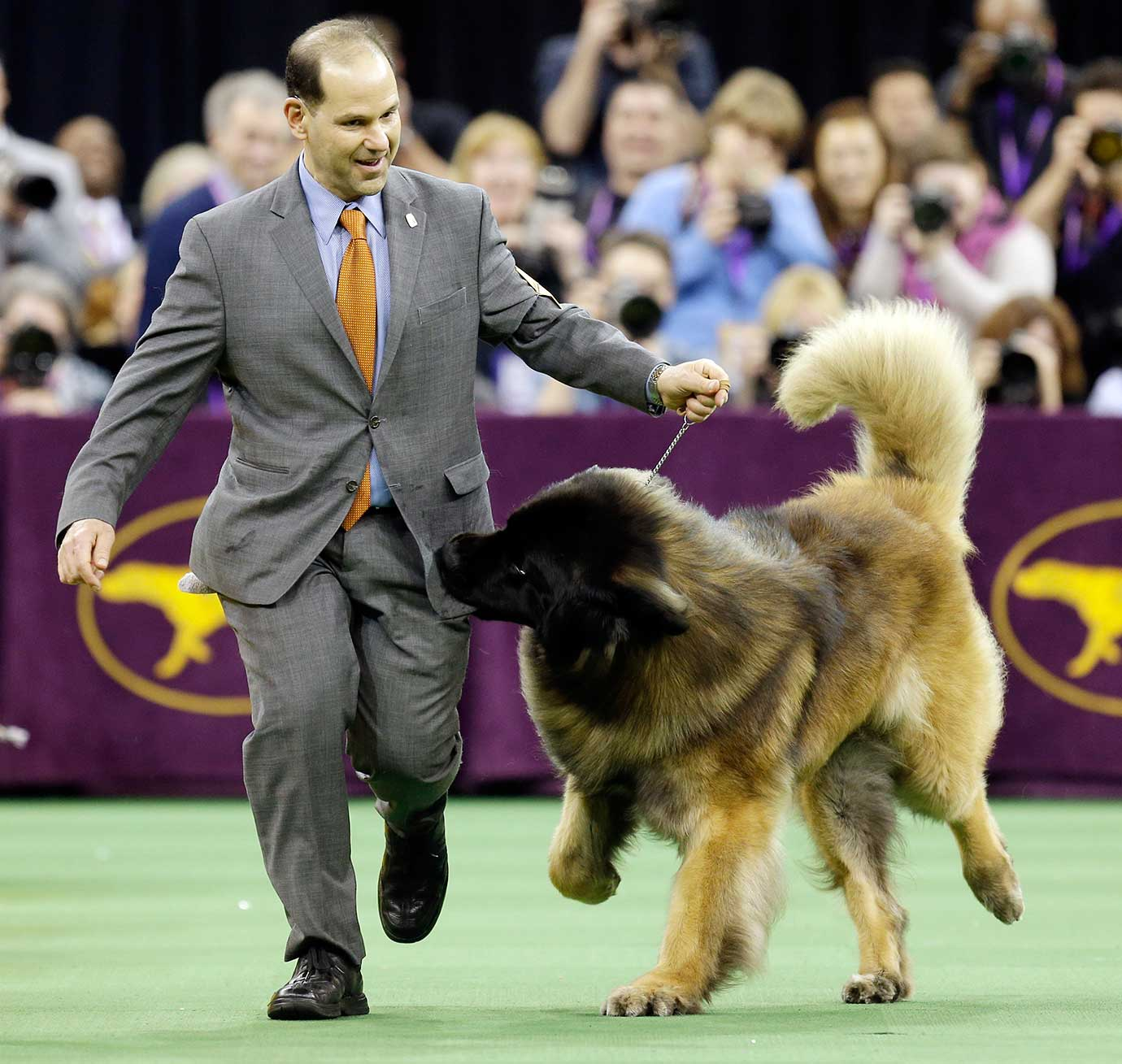 Dario, a Leonberger, tries to get at the treats in Sam Mammano's pocket during the working group competition.
