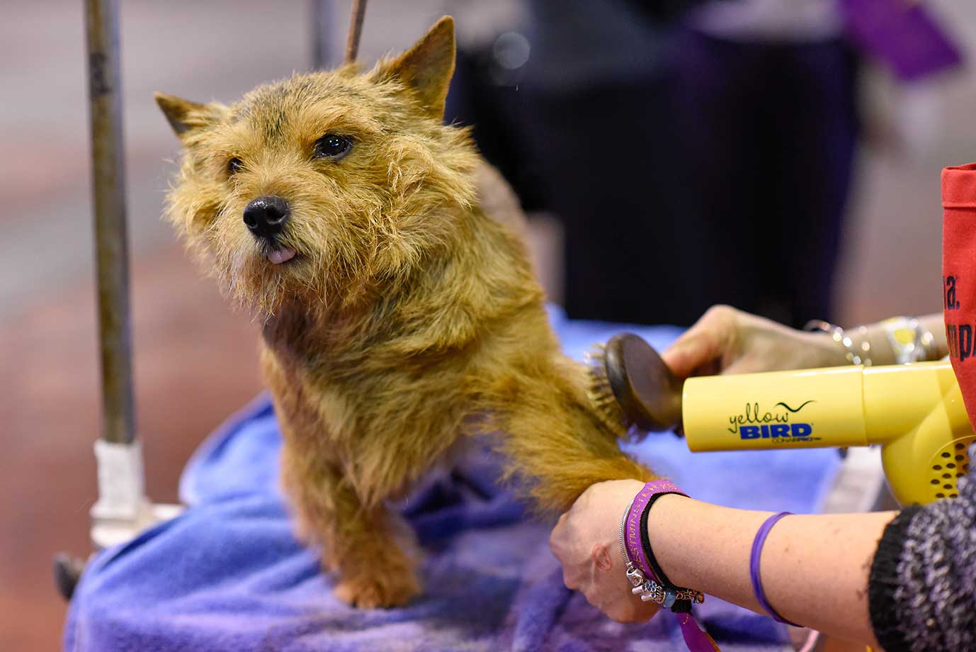 A Norwich Terrier is groomed during at the Westminster Kennel Club 140th Annual Dog Show.