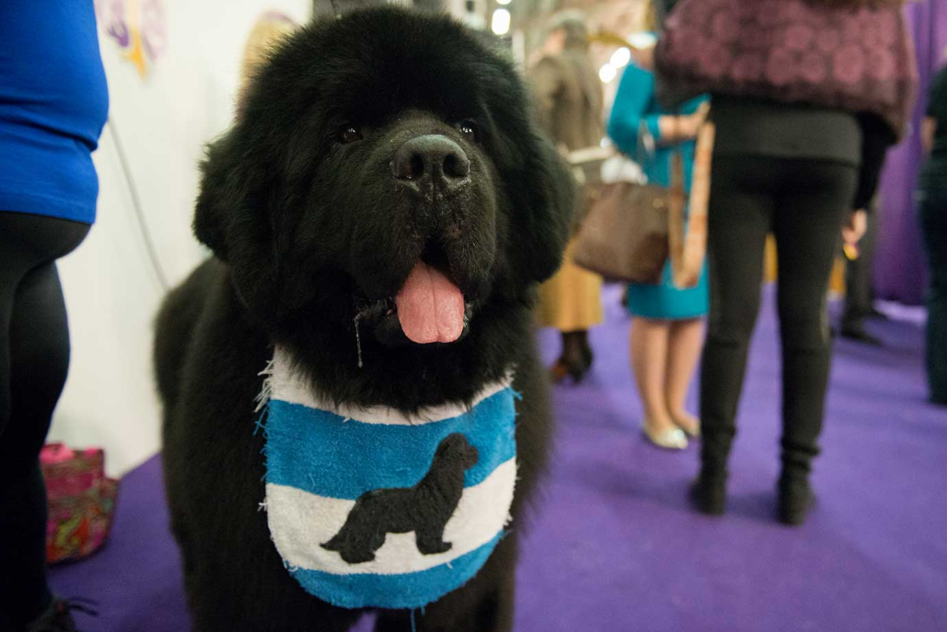 A Mastiff wears its bib before competition on the second day of the annual Westminster Kennel Club dog show.