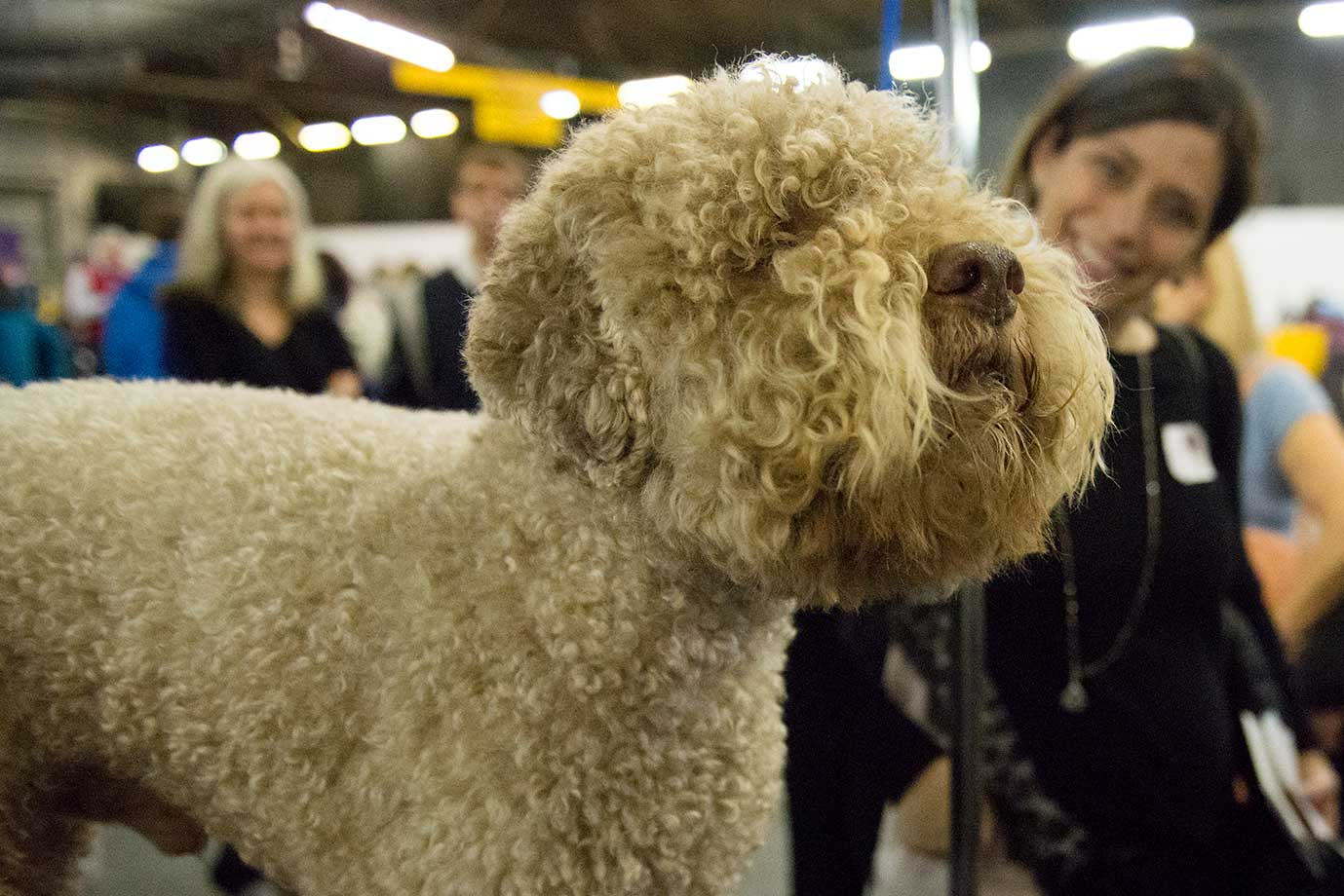 An Italian Waterdog, a new breed this year, waits in the grooming area of the Westminster Kennel Club dog show.