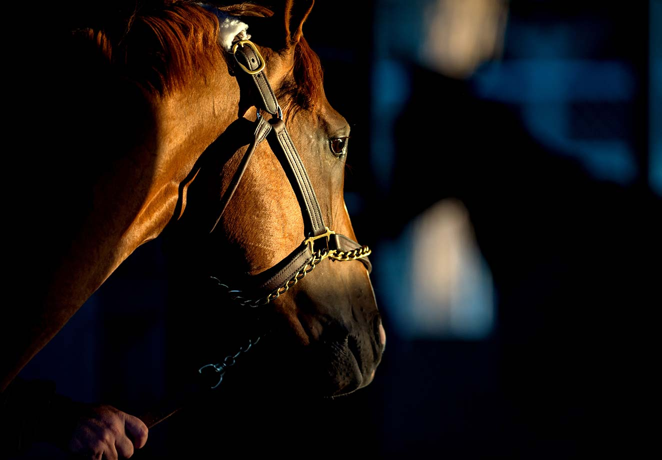 California Chrome in the barn area the morning after winning the Kentucky Derby.