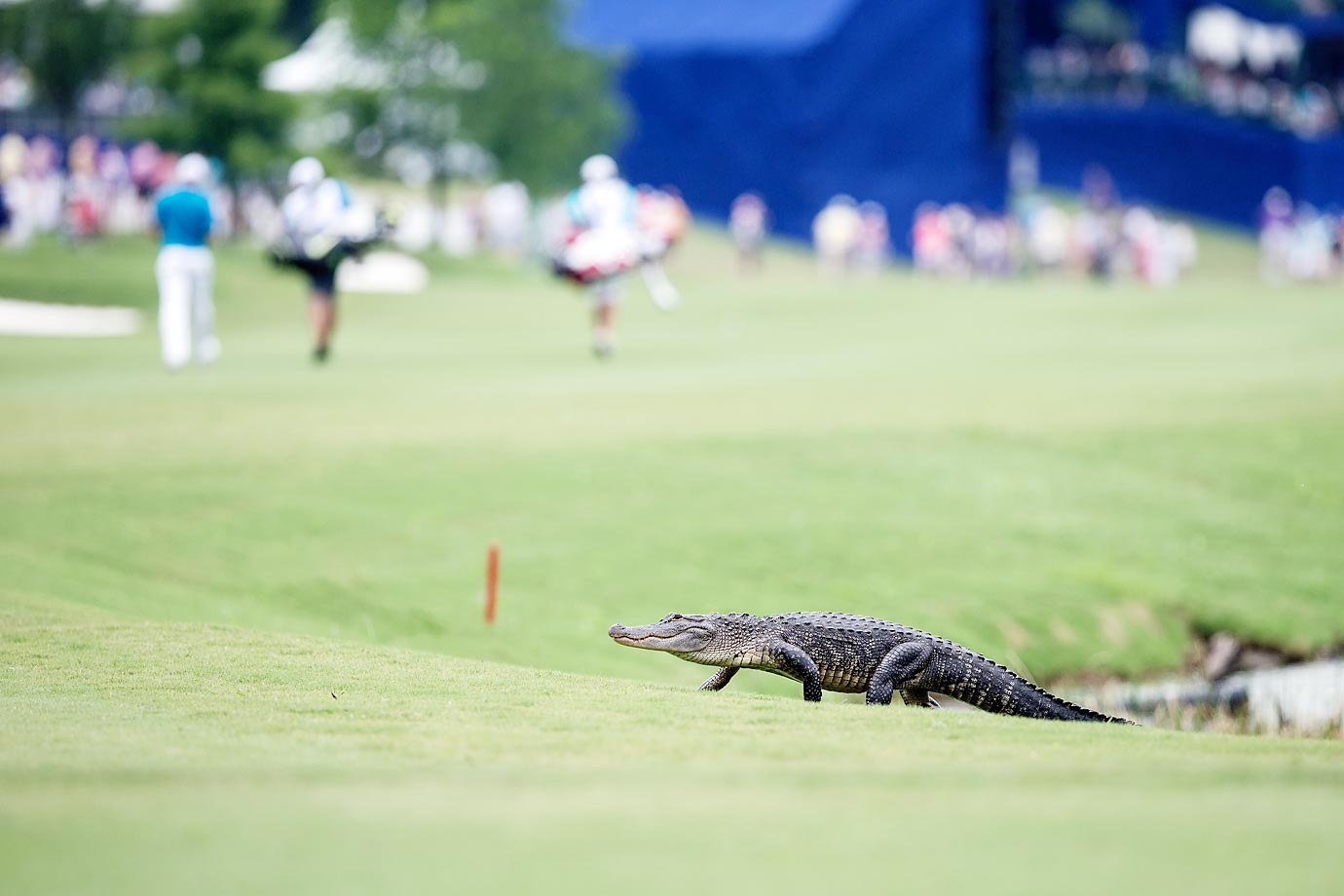 An alligator crosses the 18th fairway at the Zurich Classic in Avondale, La.