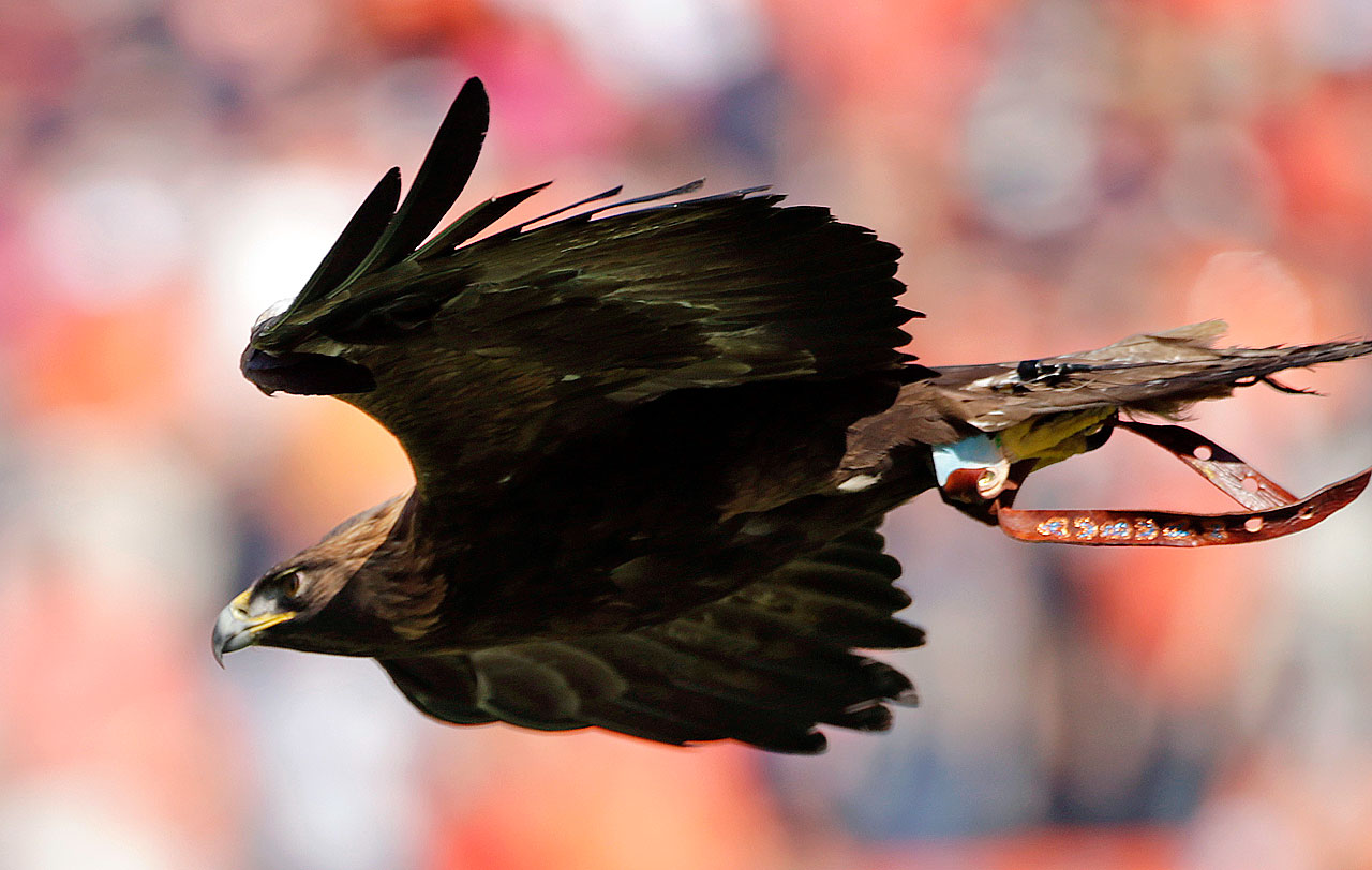 "#7: Auburn's War Eagle — As Bill Connelly puts it in his book Study Hall, ""In Auburn, Alabama, a town of 53,000, up to 87,000 people show up to watch an eagle fly around a stadium. A retired eagle still hangs out on campus. (The team's nickname is the Tigers, by the way.)"" This is one of the coolest things in sports."
