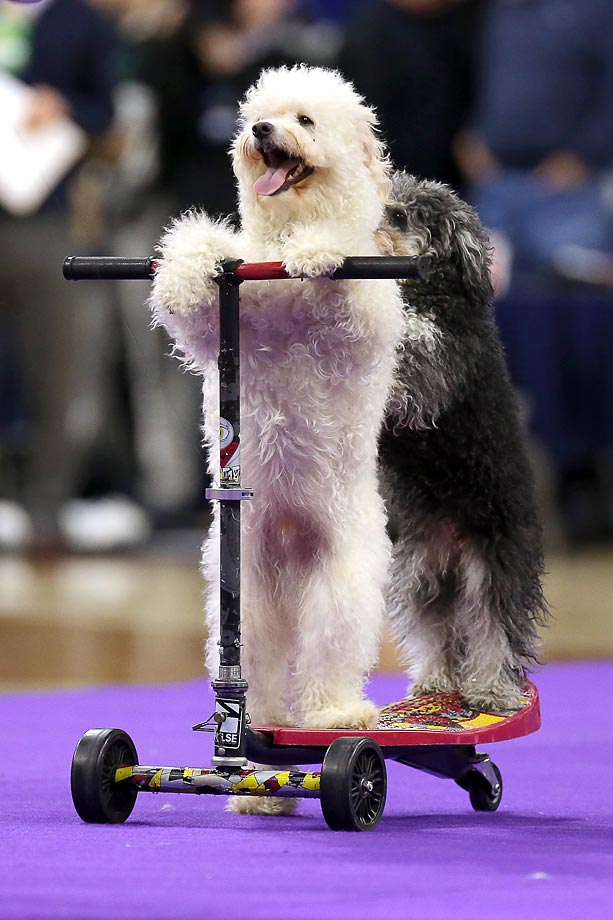 The Olate Halftime Show dogs demonstrate their talents at a Duke/Notre Dame game in South Bend.
