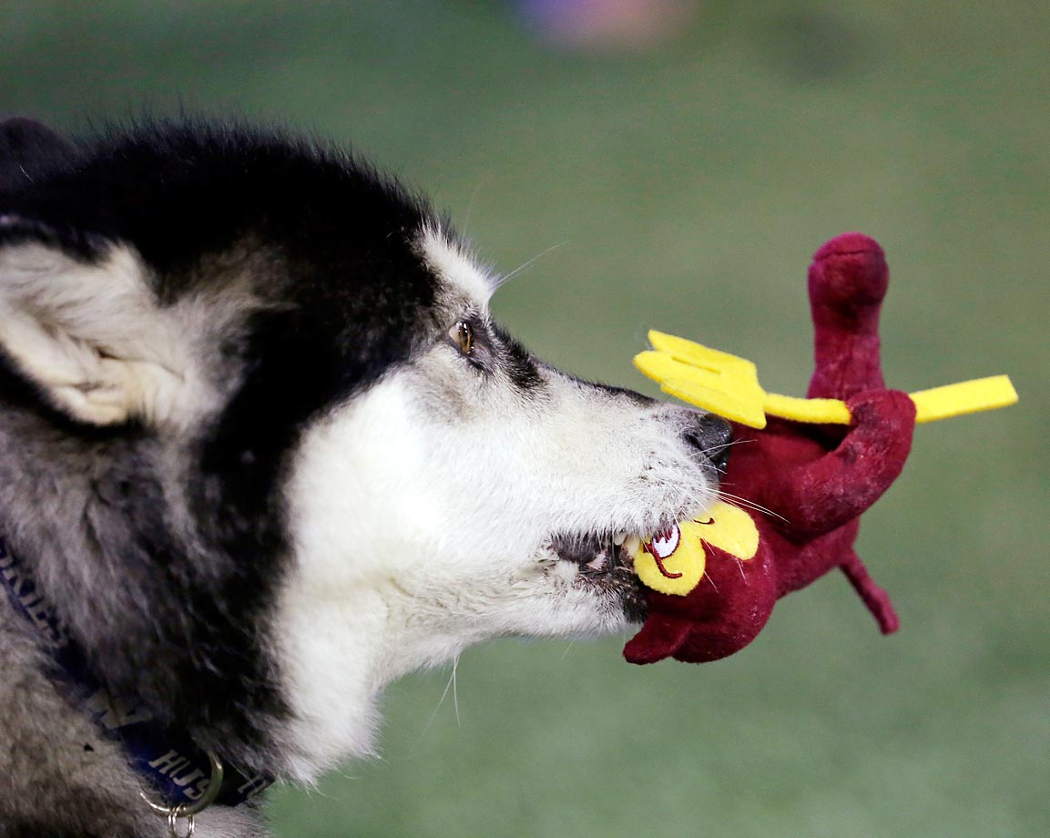 Dubs, the Washington mascot, chews on an ASU Sun Devil toy.  Arizona State won 24-10.