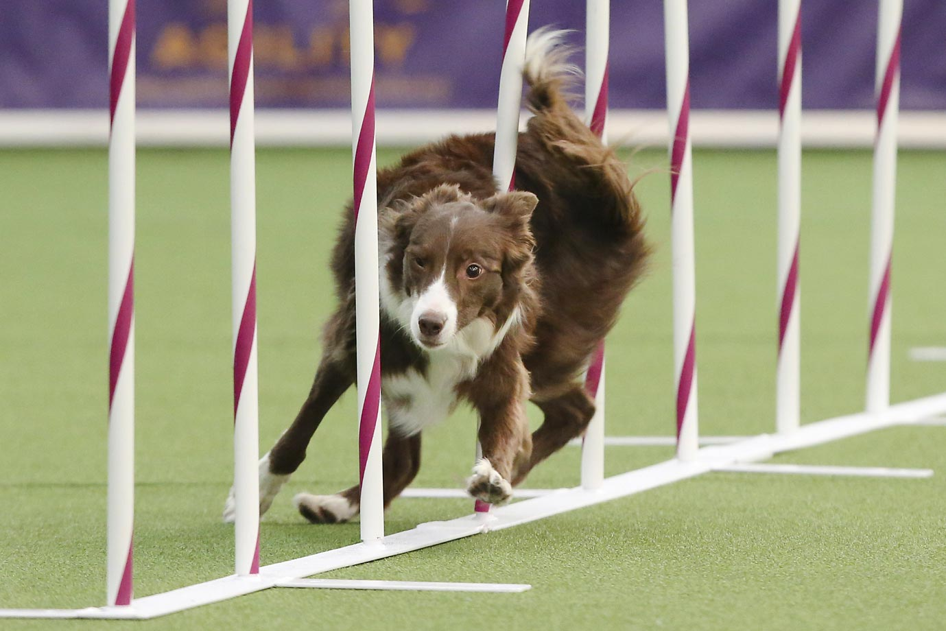 Elf, a border collie, runs the weave pole during the first Masters Agility Championship at the Westminster Kennel Club at Pier 94 in New York.