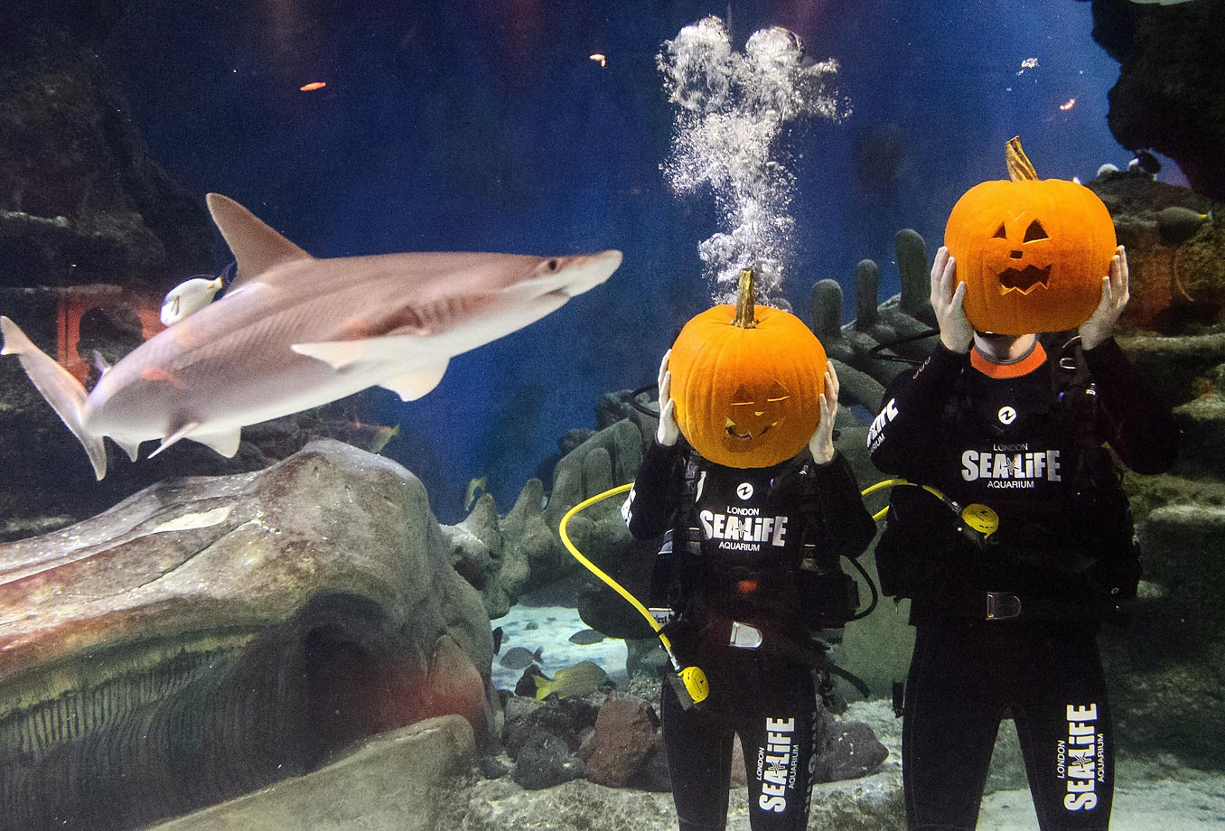 Divers hold their pumpkins after carving them in a fish tank at the London Aquarium.