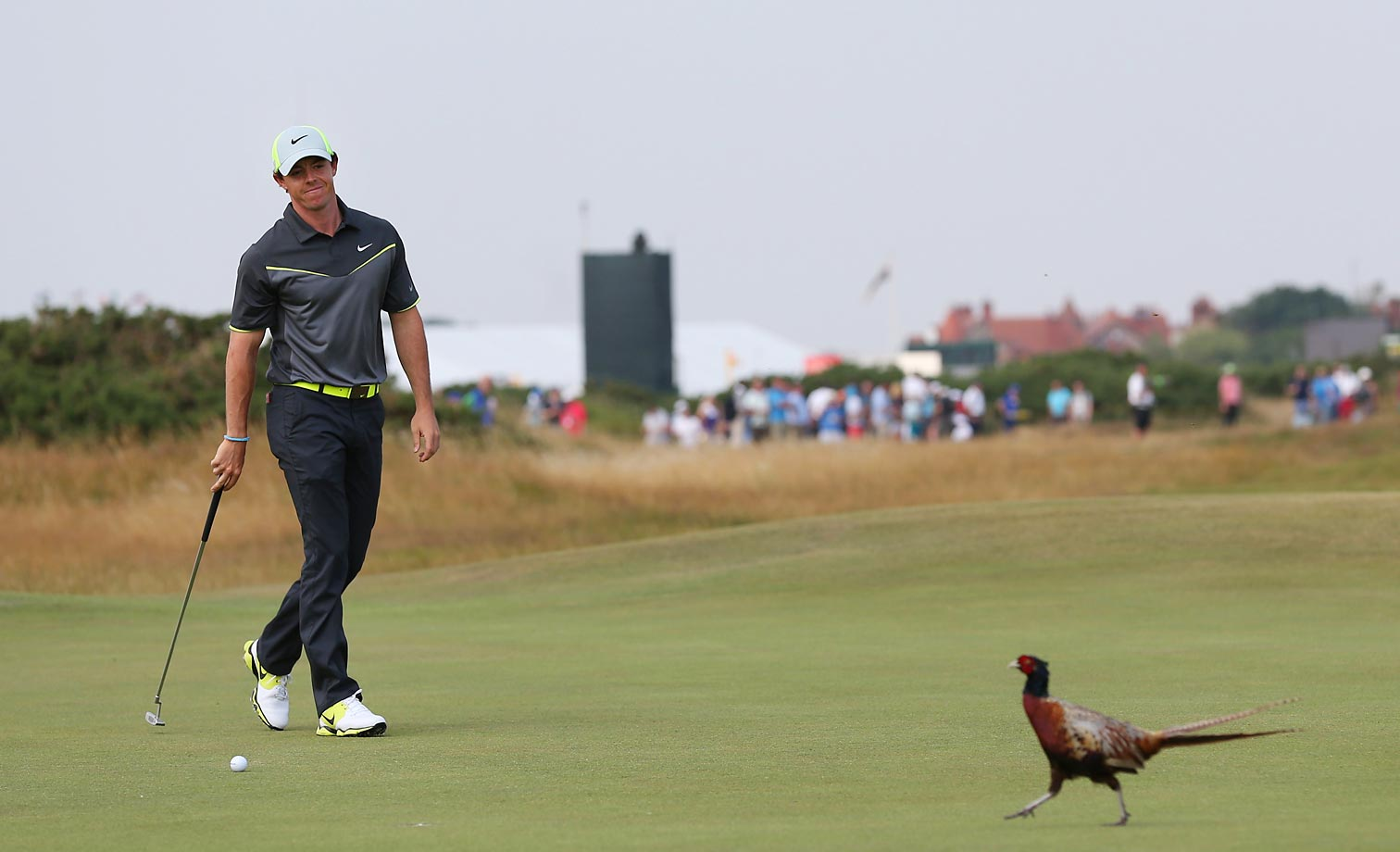 A pheasant moment on the eighth green at the Royal Liverpool golf club.