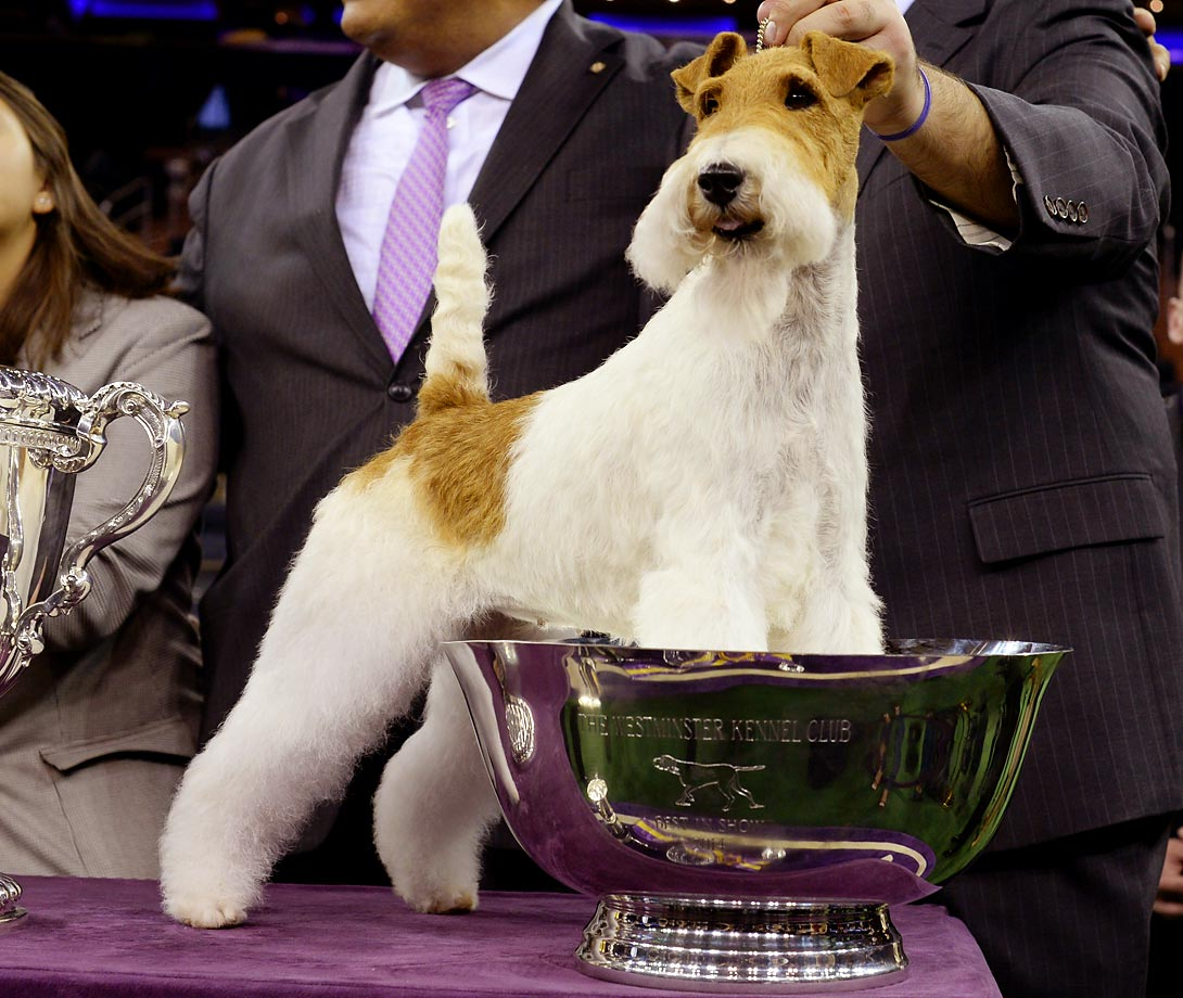 As we await the winner of the 139th Annual Westminster Kennel Club Dog Show, here's a look back at some recent champions plus other SI favorites from the Westminster dog show's history.                                                        Sky, the wire fox terrier became America's top dog in 2014, winning Best in Show in an event that featured more than 2,800 dogs from about 190 breeds.
