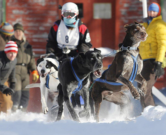 Born to Run: Sprint sled-dog racing is fast and furry-ous