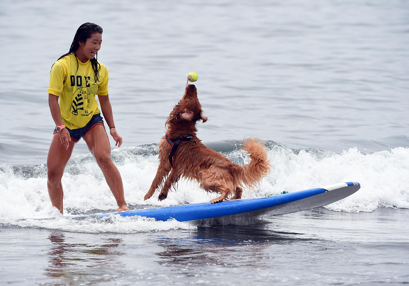 Bell catches a ball while riding on a wave during the animal surfing portion of the Mabo Royal Kj Cup surfing contest.
