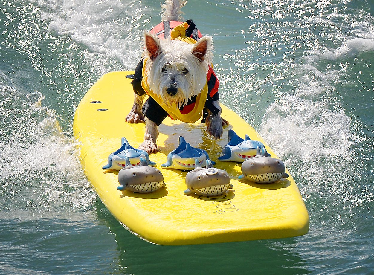 Surfer Dog Joey rides a wave in the small dog division during the 6th Annual Surf Dog competition at Huntington Beach.