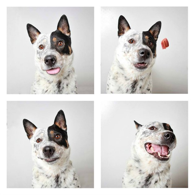 Justice, 3-year-old Australian cattle dog