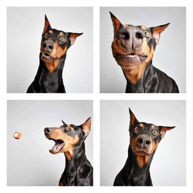 Lady, 4-year-old doberman pincher