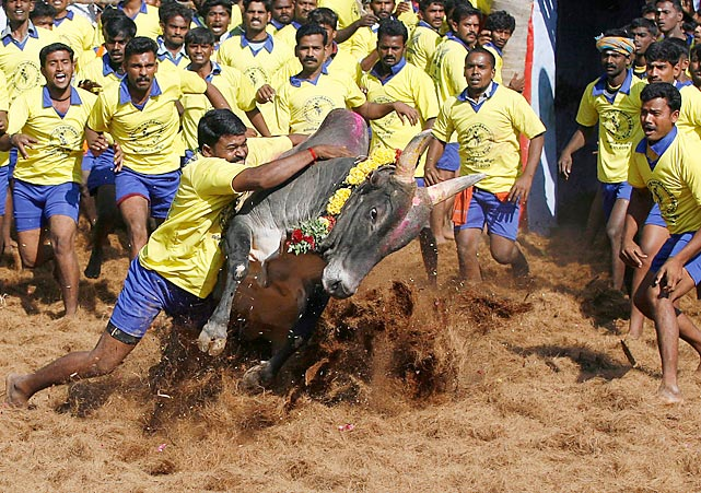 "Now <italics>that's</italics> a tackling drill. Jallikattu is ""an ancient heroic (we'll say!) sporting event of the Tamils played during the harvest festival and quite possibly the origin of the ancient expression ""taking the bull by the horns."" Here's how it's done in Palamedu, India."