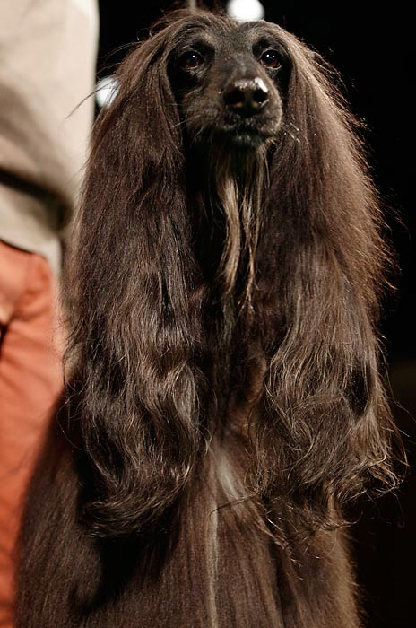 Chile, an Afghan Hounds, sits during a press conference to announce the 137th annual Westminster dog show.