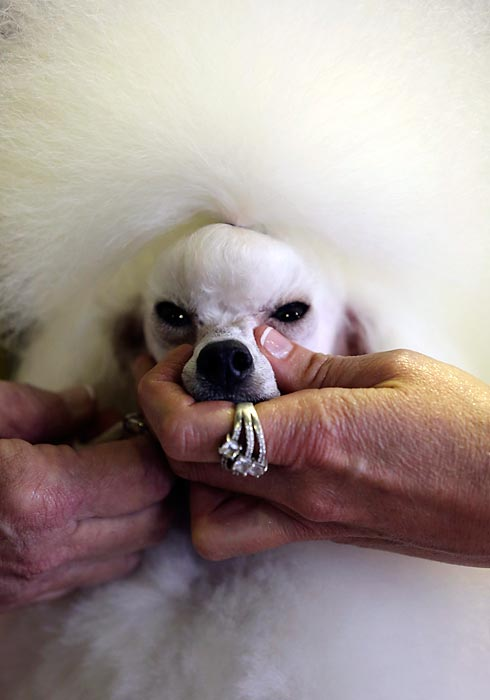 Angel, a fluffed-up 2-year-old Toy Poodle, gets groomed before competition Monday.