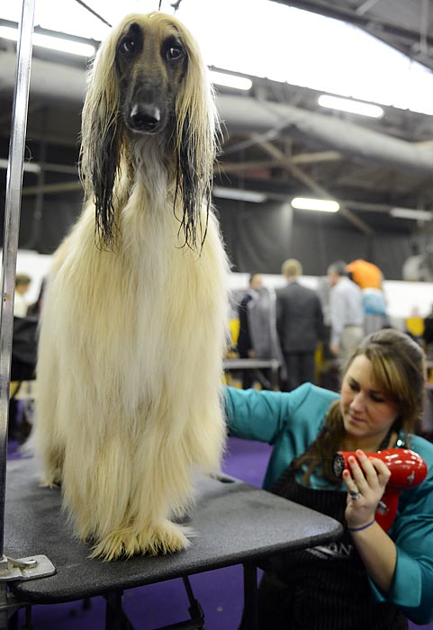 A handler uses a blow dryer to dry off her Afghan Hound.