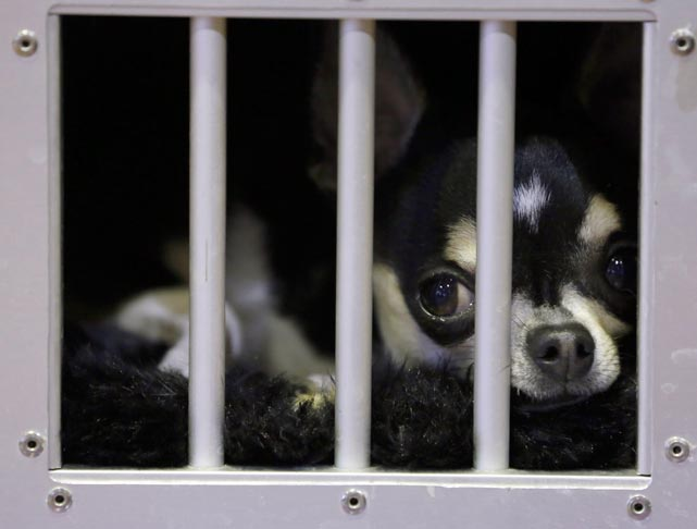 A Smooth Coat Chihuahua looks out from his cage as he waits in the benching area.
