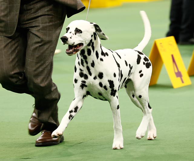 A Dalmatian gallops around the ring in Non-Sporting Group competition. Honor, a Bichon Frise, won the group.