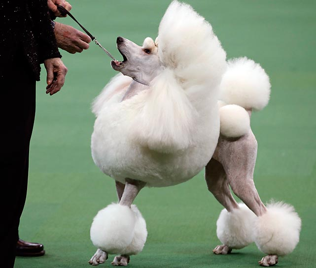 A Standard Poodle stands before the judge in the Non-Sporting Group competition.