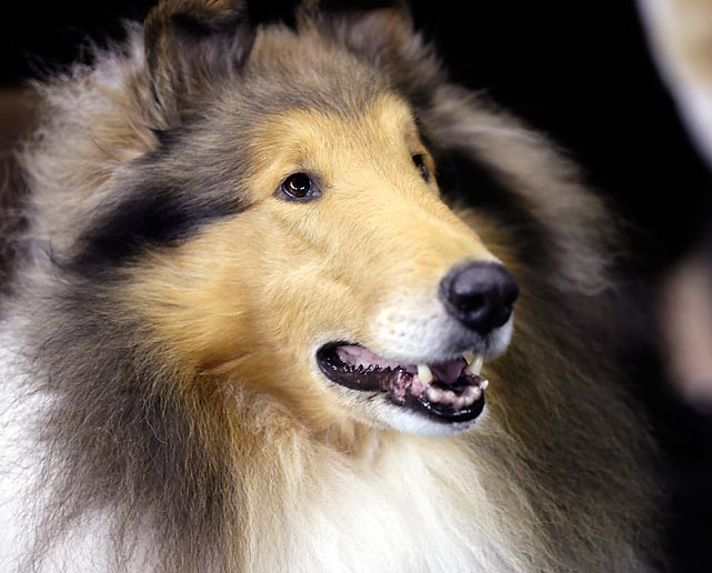A Rough Collie waits to compete in the Herding Group. Swagger, an Old English Sheepdog, took the blue ribbon in the group.