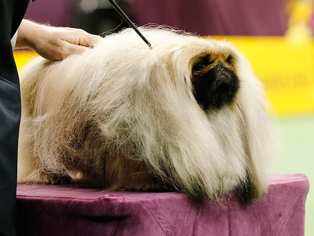 A Pekingese sits on the inspection table during his showing in the Toy Group on Monday. The Pekingese finished third in the group after Malachy, a different Pekingese, won best in show at Westminster last year.