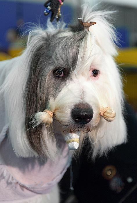 A dog gets its hair fixed up for the competition.
