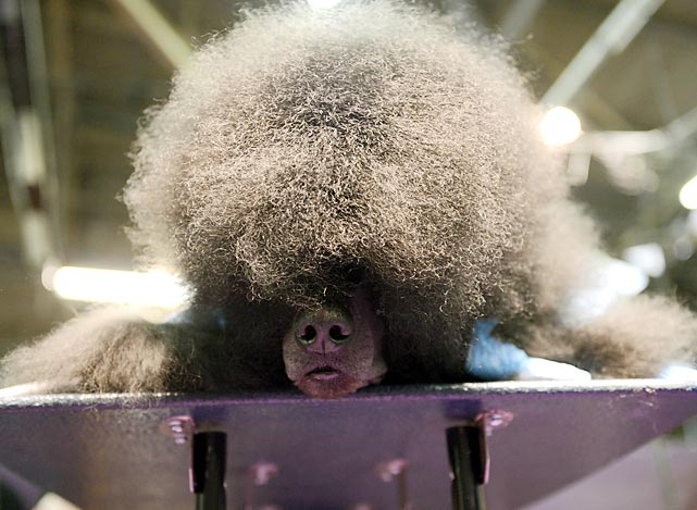 A Standard Poodle relaxes on a table as it gets prepped for competition.