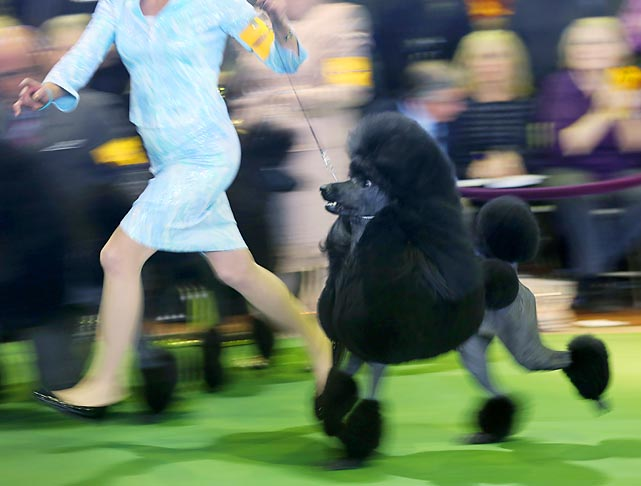 A Standard Poodle runs around the ring in Monday's breed judging.