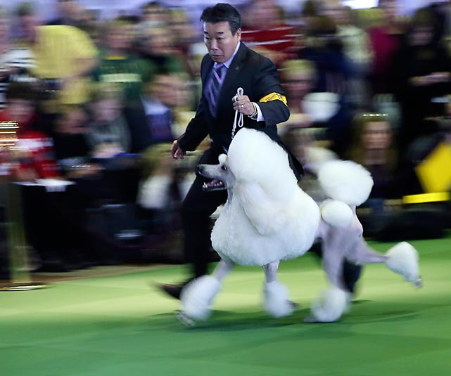 A standard poodle takes a lap around the ring as she gets shown in the Non-Sporting Group. The dog took second place in the group.