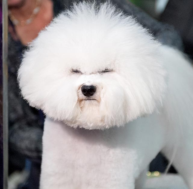A Bichon Frise poses for a photo during the early judging at Pier 94 in New York on Monday.