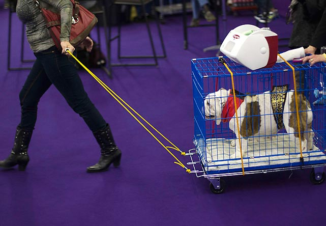 An English Bulldog takes a ride in a cart as it heads toward the judging area Monday.