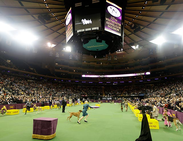 The 2013 Westminster Kennel Club dog show kicked off Monday at Madison Square Garden, continuing a tradition that began in 1877. This year's show featured more than 2,700 dogs of 187 breeds and varieties, including the new additions of the Treeing Walking Coonhound and the Russell Terrier. The Hound Group takes its tour of the arena floor Monday, the first day of competition.