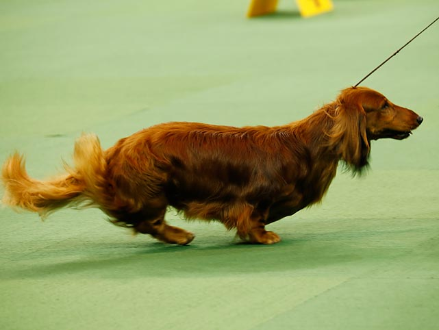 A Longhaired Dachshund falls behind its owner during a jaunt around the arena in the Herding Group on Monday.