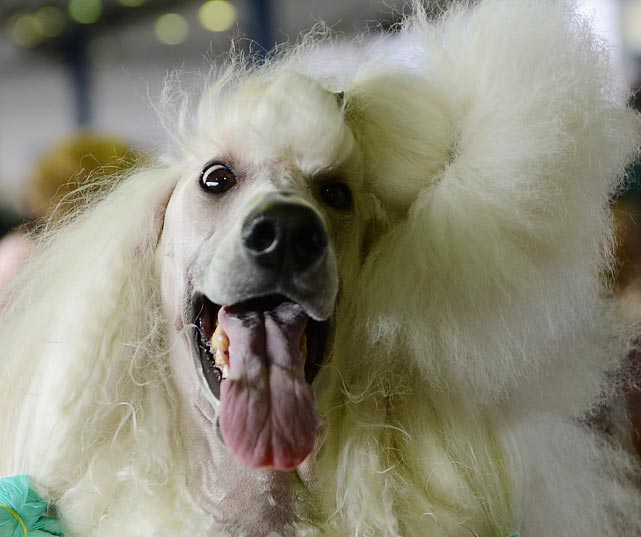 A Standard Poodle gets wide-eyed as it is groomed before judging Monday.