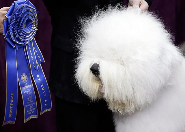 Swagger, an Old English Sheepdog poses with his blue ribbon after winning the Herding Group. It was a stunning victory for Swagger, just 20 months old and competing in only his fourth dog show.