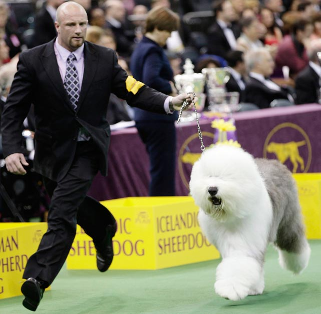 Swagger, an Old English Sheepdog, jogs with his handler Colton Johnson. Swagger won the Herding Group on Monday and will compete for best in show Tuesday night.