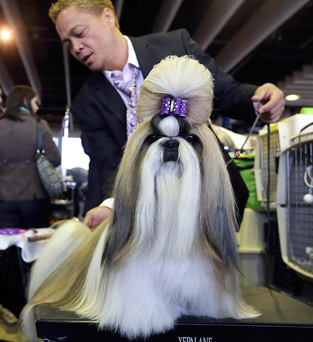 Fire, a 2-year-old Shih Tzu, gets groomed by Craig Garcia.
