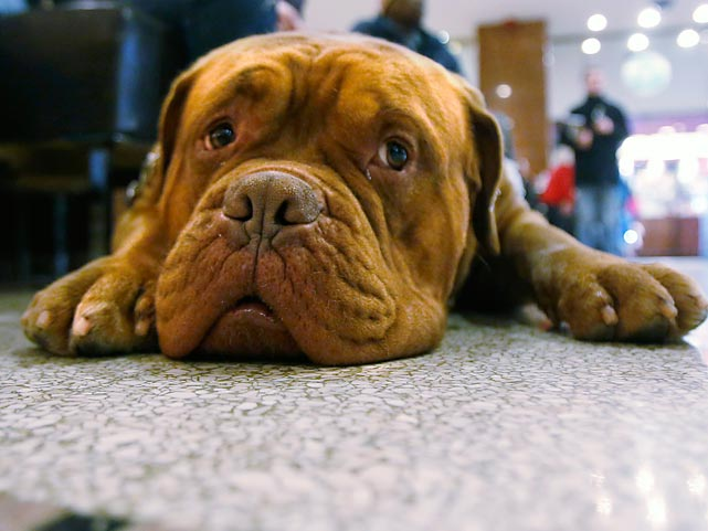 Azlo, a 2-year-old Dogue de Bordeux, rests his head in the lobby as he waits for his room to be ready at the Hotel Pennsylvania.