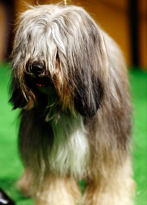 Keaton, a Tibetan Terrier, stands at a press conference for the Westminster dog show Thursday.