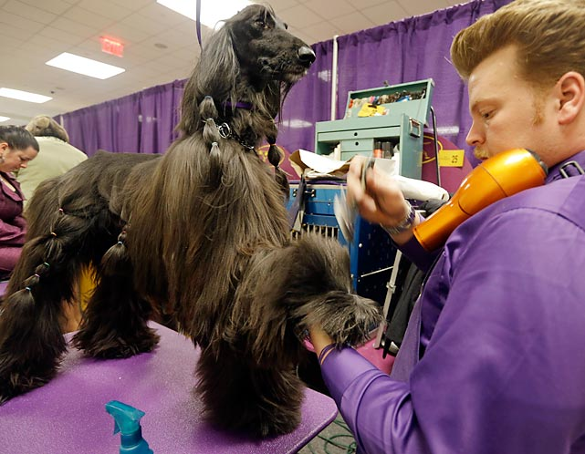 Phil Schafmayer preps Rider, an Afghan Hound, before competition. Rider won the best in breed category among other Afghan Hounds.