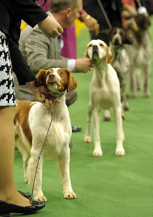 The Sporting Group dogs line up inside the arena for judging Tuesday. Oakley, a German Wirehaired Pointer, won the group, followed by a Black Cocker Spaniel, an English Springer Spaniel and a Clumber Spaniel.
