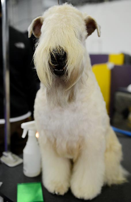 Paisley, a Wheaten Terrier, sits on a grooming table before judging Tuesday. Whether the dog can see through the fur is unknown.