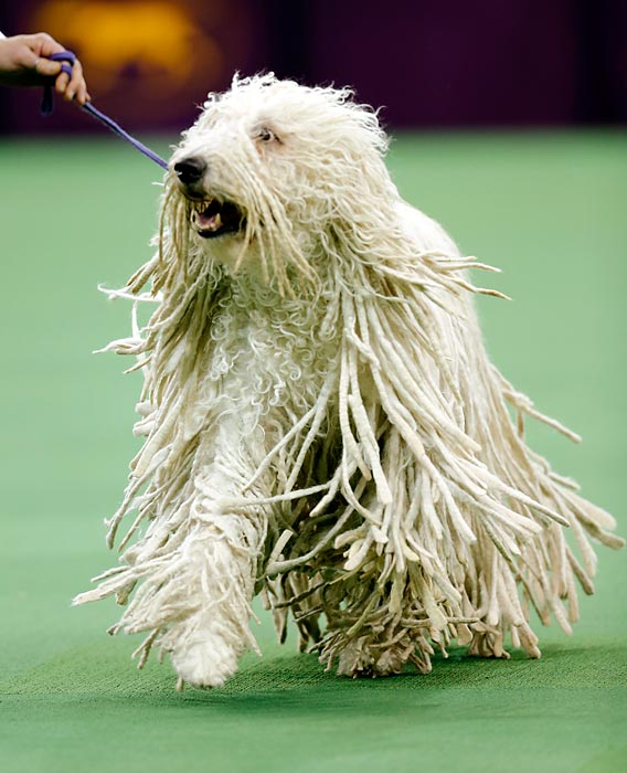 A Komondor trots around the ring at Madison Square Garden on Tuesday while competing in the Working Group. The apparent utility of his mop-like appearance earned the dog no favors from the judge as he failed to place in the group.